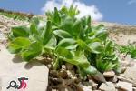 کرفس کوهی گیاهی برای فشارخون و چربی خون