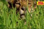 راز بقا - مستند حیات وحش - پلنگ آمریکایی در مقابل تمساح