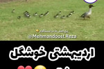 کلیپ طنز مشهدی برای تبریک تولد اردیبهشتی ها