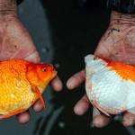 پرورش ماهی قرمز ( عکس )
