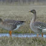 مشخصات و نحوه زندگی پرندهای مهاجر کمیاب به نام غاز پازرد ( Taiga Bean Goose )
