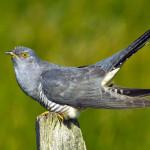 آشنایی با زندگی عجیب غریب پرنده کوکو