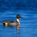 معرفی کامل گونه اردک به نام فیلوش + فیلم و گالری تصاویر