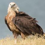 آشنایی با عقاب دریایی پالاس ( عقاب ماهیگیر ) + تصاویر