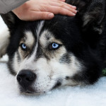 علائم تشخیص و درمان سرطان خون در سگ