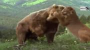 کلیپ حمله خرس به شیر کوهی
