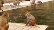 صداگذاری خنده دار میمون