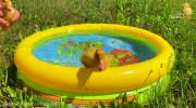 شناکردن جوجه اردک های کوچک