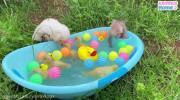 کلیپ بازی جوجه اردک و بچه میمون