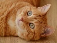 راههای درمان و تشخیص ویروس ایدز در گربه ( FIV )