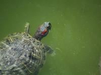 نگهداری از  لاک پشت گوش قرمز : از غذا تا محل مناسب زندگی