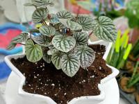 علت پژمرده شدن گیاه پیرومیا چیست؟نحوه مراقبت و نگهداری از گیاه پیرومیا
