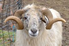 آشنایی با طرح توجیهی پرورش گوسفند قره گل