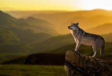 تعبیر خواب گرگ : ۶۸ نشانه و تفسیر دیدن گرگ در خواب