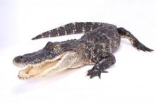 خواب تمساح : ۴۵ معنی و  تعبیر دیدن تمساح در خواب