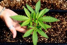آیا مصرف گیاه سالویا اعتیاد آور است؟