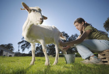 مصرف شیر بز برای کودک از چه سنی مناسب است؟