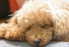 این موارد عامل اصلی لرزش و لرزیدن بدن سگ هستند