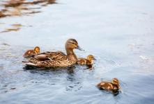 نگهداری از جوجه اردک ، روش صحیح بزرگ کردن جوجه اردک