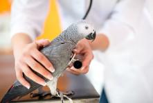 درمان سریع سرما خوردگی (خرخر یا خس خس کردن) پرندگان