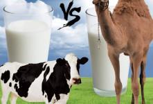 تفاوت های اصلی بین شیر شتر و شیر گاو در چیست ؟