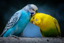 دانلود ۳۰ صدای مرغ عشق برای جفت گیری و اهلی شدن