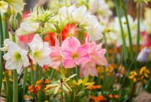 معنی رنگ های مختلف گل آماریلیس : گل آماریلیس نماد چیست ؟