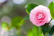 معنی رنگ های مختلف گل کاملیا : گل کاملیا نماد چیست ؟