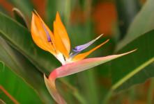 معنی گل استرلیتزیا : گل پرنده بهشتی نماد چیست ؟