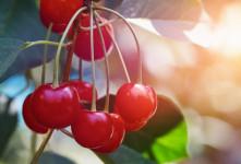 طبع آلبالو چیست ؟ میوه ی آلبالو گرم است یا سرد ؟