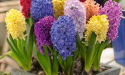نگهداری ، تکثیر و کاشت گل سنبل