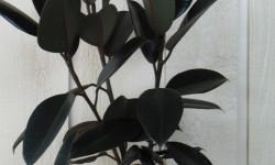 معرفی و راهنمای پرورش گیاهان زینتی - فیکوس الاستیکا