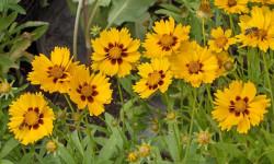نحوه ی نگهداری و تکثیر گل اشرفی (کورئوپسیس)