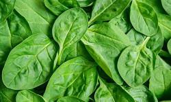 29خواص دارویی درمانی اسفناج ،مضرات این سبزی،غذای اسفناجی