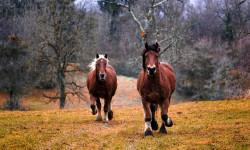علائم ،تشخیص و درمان آبسه یا بیماری پوستی در اسب ( Abscess in Horses)