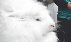 آشنایی و درآمد زایی با پرورش خرگوش آنگورا (طرح توجیهی)