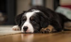 دلایلی که سگ کف پای خود را لیس میزند و راه درمان