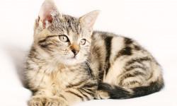 تشخیص و درمان سرطان لنفومی در گربه