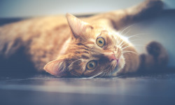 راه انتقال ، تشخیص و درمان سرطان خون در گربه