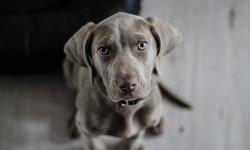 سرطان لنفومی در سگ علل ، تشخیص و درمان
