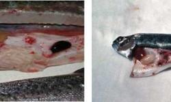 ویروس VHS علت مرگ ماهی ها ؛ از پیشگیری تا درمان این بیماری