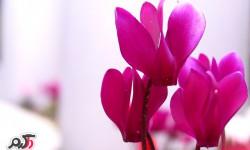 نگهداری و تکثیر گل سیکلامن پرسیکوم