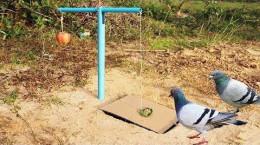 تله ساده و زنده گیر کبوتر با نخ و مقوا