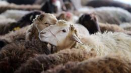 کدام حیوانات را میتوان ذبح کرد؟ شرایط و نحوه قربانی کردن