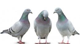 تعبیر خواب کبوتر : ۴۹ نشانه و تعبیر دیدن کبوتر در خواب