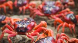 تصاویر کوچ سالانه خرچنگ ها
