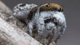 تصاویر عنکبوت های طاووسی استرالیایی