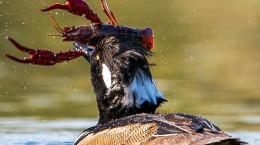 تصاویر شکار خرچنگ توسط مرغابی