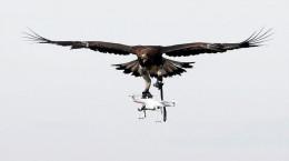 تصاویر شکار پهپاد توسط عقاب