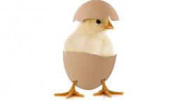 900 اسم زیبا و فانتزی برای جوجه رنگی (مرغ،خروس)